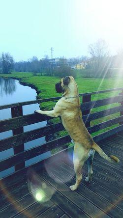 Dogslife Natura Mydog♡ Dog❤ Canecorso  I Love My Dog Mynameis Chicagone Dogs Of EyeEm Beautiful Nature