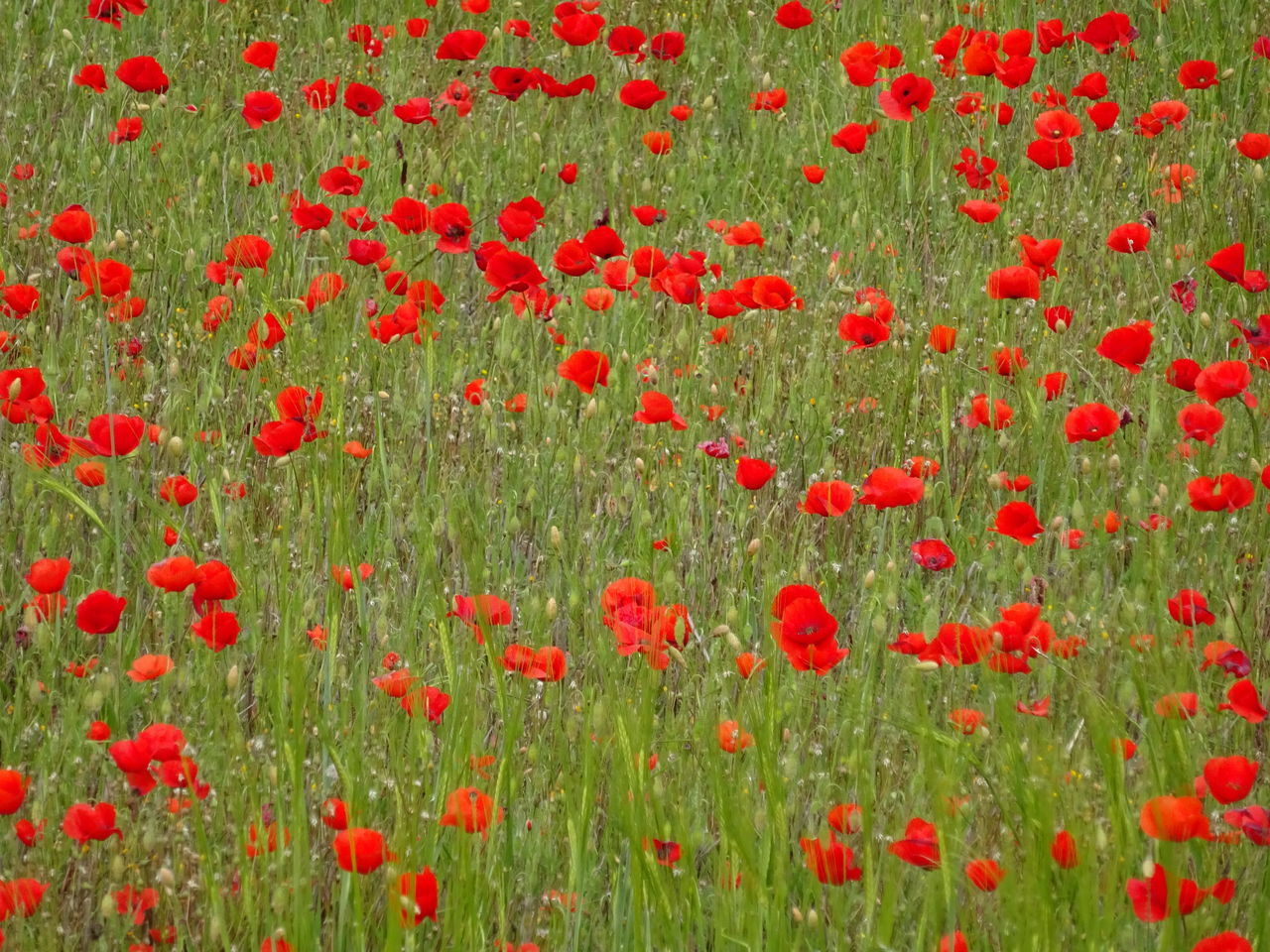 red, flower, poppy, field, green color, freshness, grass, nature, growth, day, plant, no people, abundance, backgrounds, summer, meadow, full frame, petal, outdoors, agriculture, flower head, beauty in nature, flowerbed, springtime, rural scene, fragility, herbal medicine, close-up