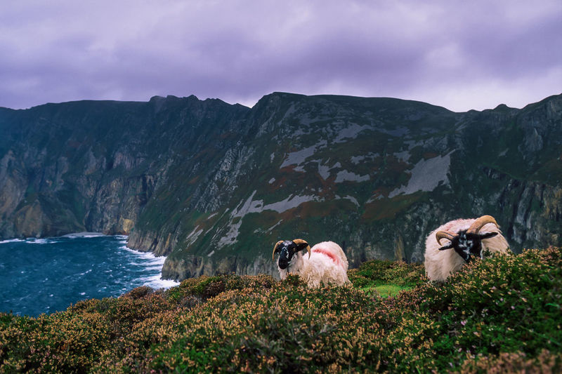 Two scottish blackface sheep are grazing quietly near the awe cliffs of slieve league in ireland