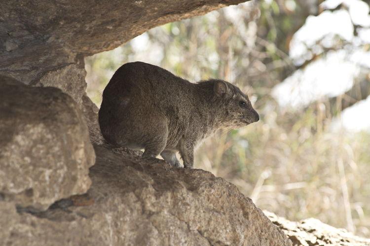 Rock Hyrax (Dassie) Africa Animal Animals Animals In The Wild Dassie EyeEm Nature Lover Eyemphotography Mammal Rock Hyrax Safari Wildlife Wildlife & Nature Wildlife Photography