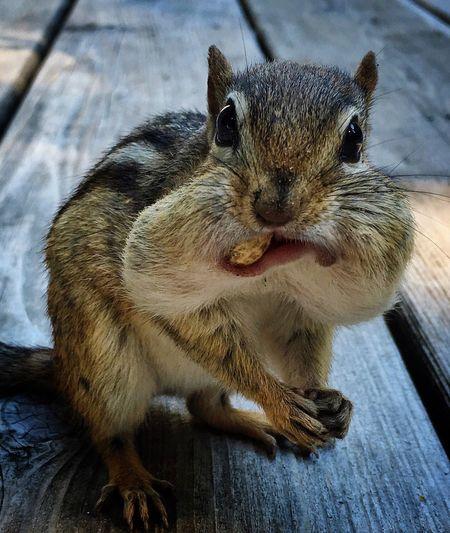 Portrait of chipmunk eating nuts on pier