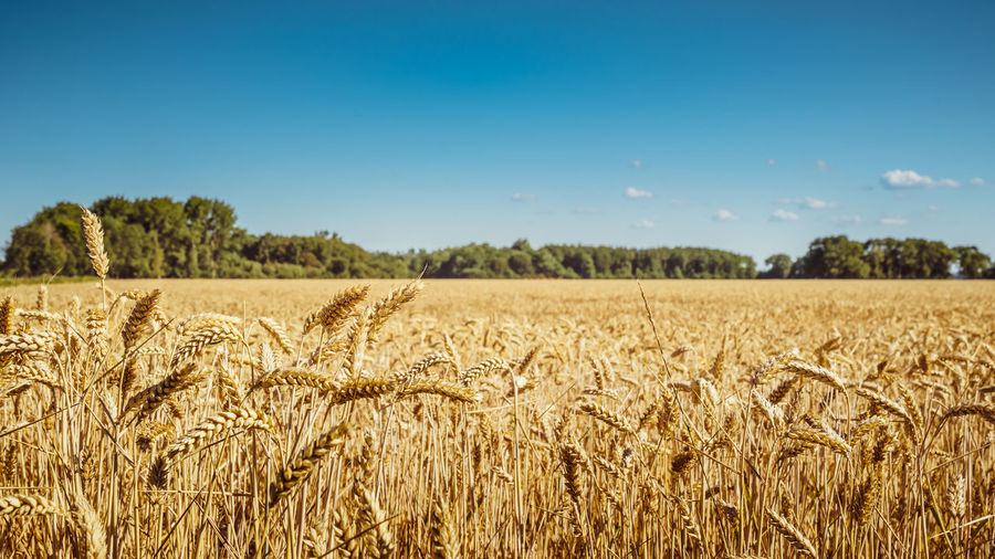 Agriculture Beauty In Nature Blue Cereal Plant Crop  Day Environment Farm Field Growth Land Landscape Nature No People Outdoors Plant Rural Scene Sky Stalk Tranquil Scene Tranquility Wheat