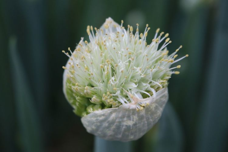 Flower Nature Beauty In Nature Growth Close-up Flower Head 꽃 사진 Photo Spring Onion 대파 대파꽃 자연 성장 Blooming Yeongju, Korea