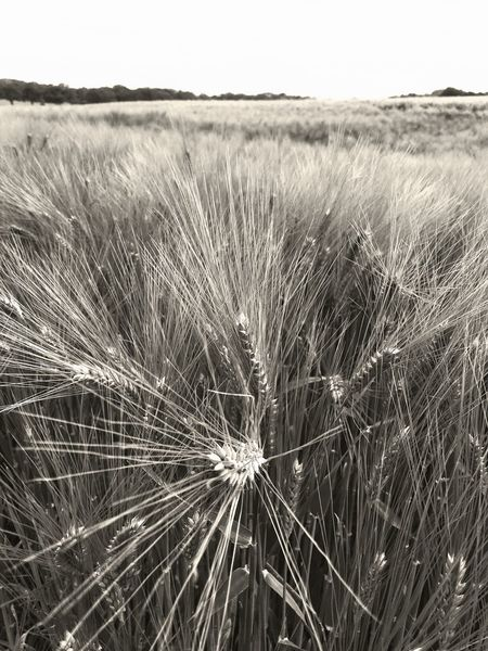 Field Cereal Plant Nature Agriculture Wheat Outdoors Rural Scene Crop  Landscape Grass Growth No People Day Timothy Grass Plant Detail Scenics Clear Sky Sky Close-up Kornfeld Gerste Barley Close Up Wide Open Spaces