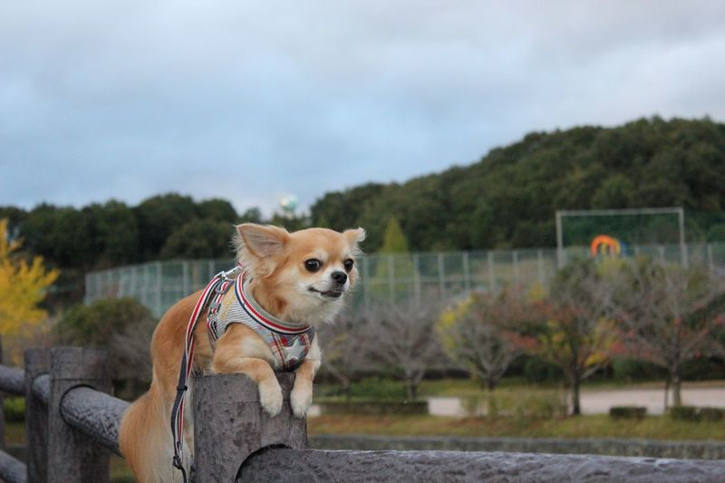 Dog Domestic Animals Pets One Animal Animal Themes Mammal Pet Collar Sky Day Focus On Foreground Outdoors No People Nature Tree Niko Chihuahua Family