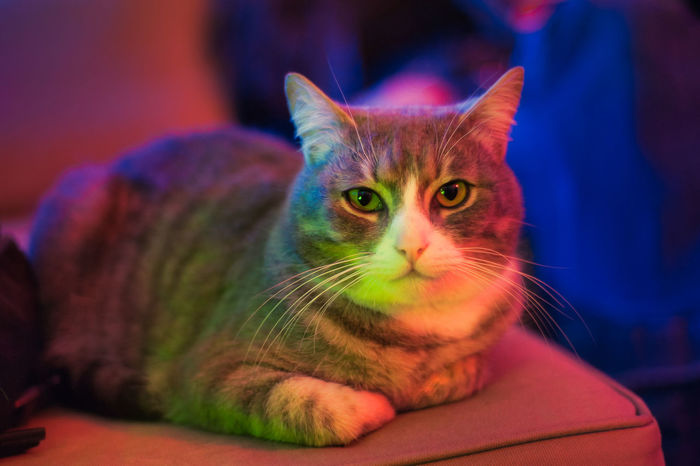 My cat with disco lights ! Colors Colours Animal Animal Eye Animal Head  Animal Themes Cat Close-up Colorful Disco Domestic Domestic Animals Domestic Cat Feline Focus On Foreground Indoors  Looking Looking At Camera Mammal One Animal Pets Portrait Relaxation Vertebrate Whisker