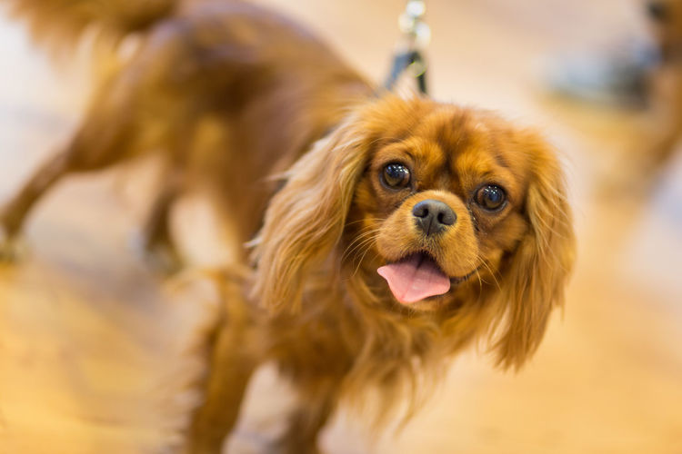 Funny dog in a shop in Bonn, Germany Animal Animal Hair Animal Nose Animal Themes Cavalier King Charles Spaniel Close-up Dog Dogs Domestic Animals Funny Looking At Camera No People Nose One Animal Pets Portrait Selective Focus Snout Sticking Out Tongue