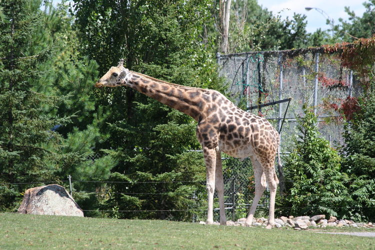 Giraffe at Granby zoo Animal Themes Animal Wildlife Animals In The Wild Day Forest Giraffe Grass Grass Green Color Long Neck  Mammal Nature No People One Animal Outdoors Patches Safari Animals Standing Tall Tall - High Tree Trees Zoo Zoo Animals  Zoophotography