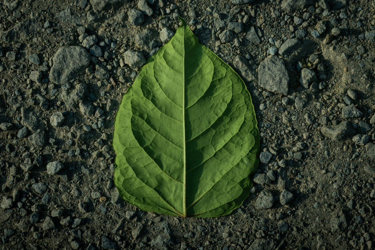 Just a leaf~ Beauty In Nature Close-up Day Directly Above Green Color Growth High Angle View Land Leaf Leaf Vein Natural Pattern Nature No People Outdoors Pattern Plant Plant Part Rock Solid Textured  The Still Life Photographer - 2018 EyeEm Awards