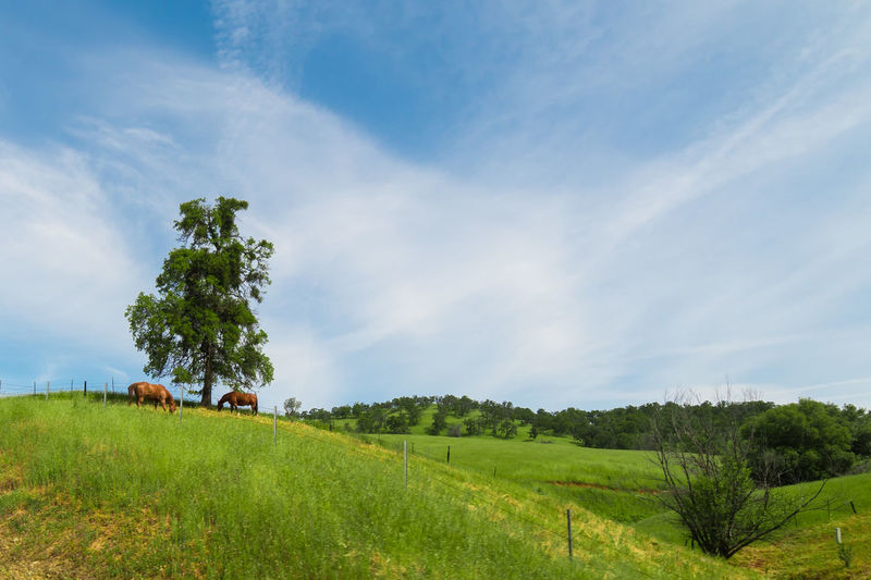 Grazing Saddles Animal Cloud - Sky Day Environment Field Grass Green Color Land Landscape Nature No People Non-urban Scene Outdoors Rural Scene Sky Tranquil Scene Tranquility Tree