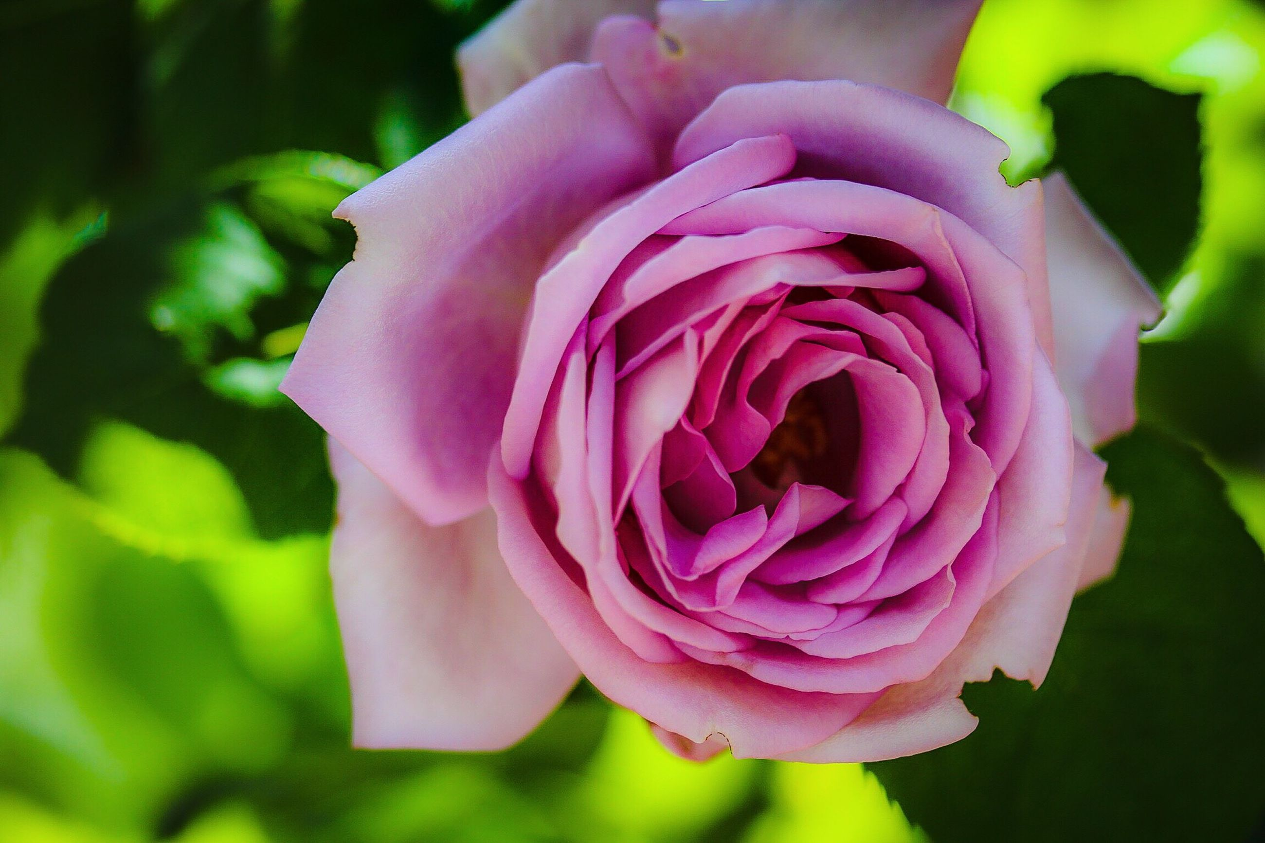 flower, petal, freshness, flower head, fragility, pink color, close-up, beauty in nature, rose - flower, growth, focus on foreground, single flower, nature, blooming, pink, plant, in bloom, rose, park - man made space, blossom
