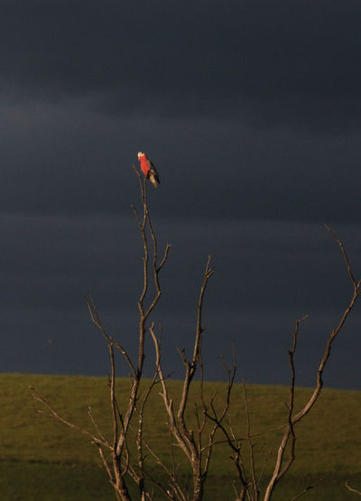 Australia Beauty In Nature Check This Out Contrast Eye4photography  EyeEm Nature Lover Galah Hanging Out Moody Sky Perching Stormy Weather Wildlife Australian Wildlife Eyem Birds Popular Australian Birds Eyeem Australia Bird The Things You Stop For On Your Way To Work🌅