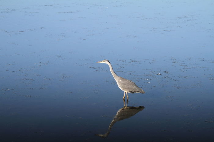 Animal Themes Animal Wildlife Animals In The Wild Beauty In Nature Bird Day Gray Heron Great Egret Heron Lake Mirror Nature No People On The Lookout One Animal Outdoors Water Water Bird Water Reflections