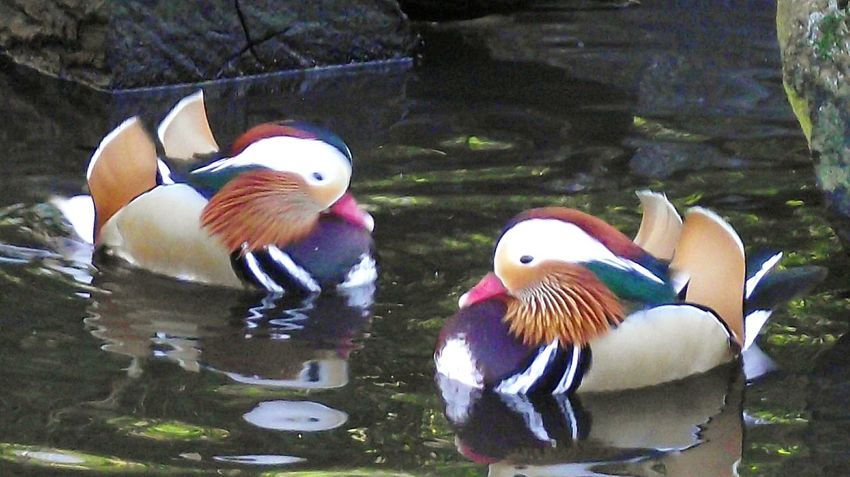 Water Mandarin Duck Outdoors Beauty In Nature Bird Nature Martin Mere Ladyphotographerofthemonth Walking Around Duck