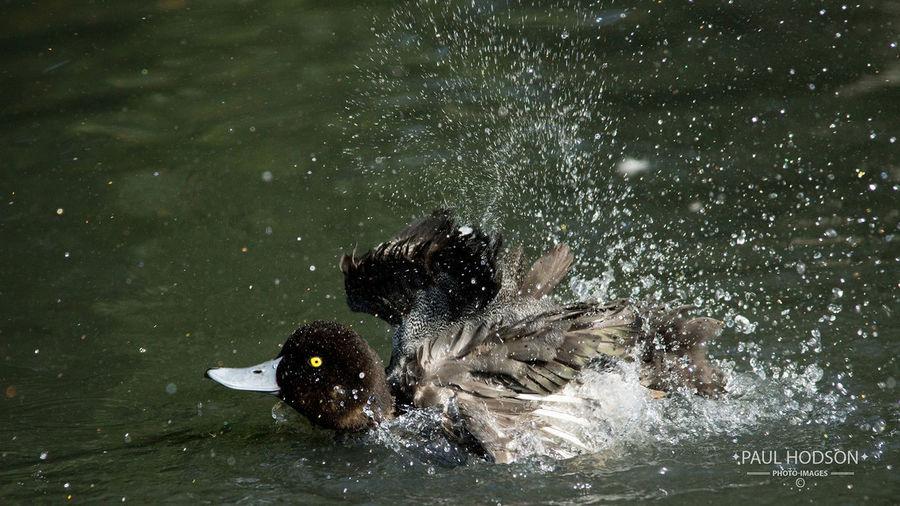 Ducks Duck