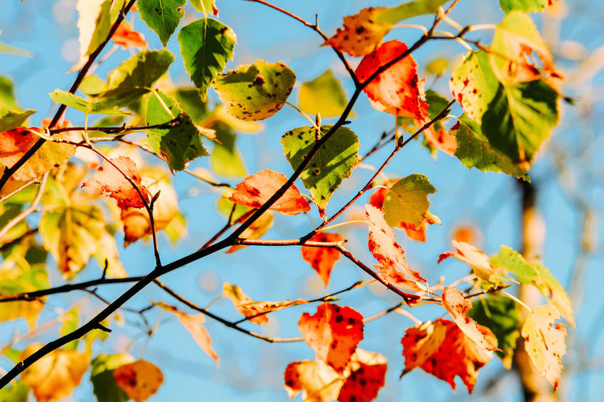 Autumn colors Autumn Leaves Birkenblätter Autumn Beauty In Nature Branch Change Close-up Colorful Day Focus On Foreground Food And Drink Freshness Growth Herbstfarben Leaf Leaves Low Angle View Natural Condition Outdoors Plant Plant Part Rowanberry Sky Tree