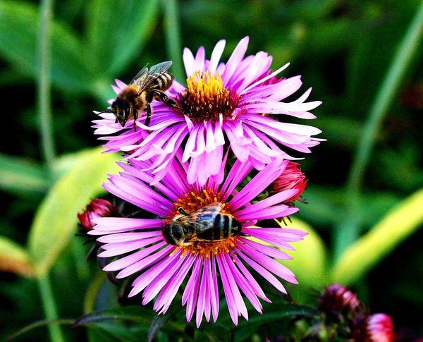 Bienen #blume #Nature  #Natur #bienen Buzzing Bumblebee Eastern Purple Coneflower Petal Working Animal