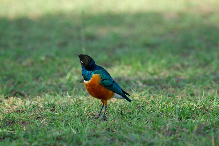 Close-up of colorful superb starling bird in the grass