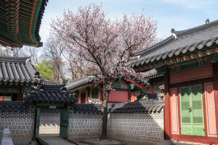 View of cherry tree against building