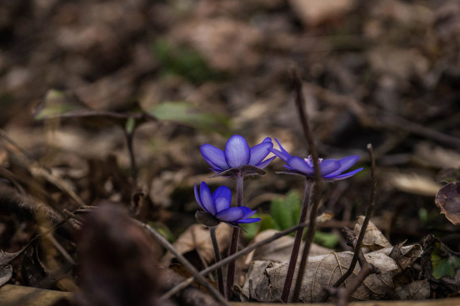 Spring has arrived. Flower Nature Purple Beauty In Nature Plant Growth Flower Head Outdoors Day Sonyalpha Lovetakingphotos Original Photography Nature Forest Track EyeEmNewHere