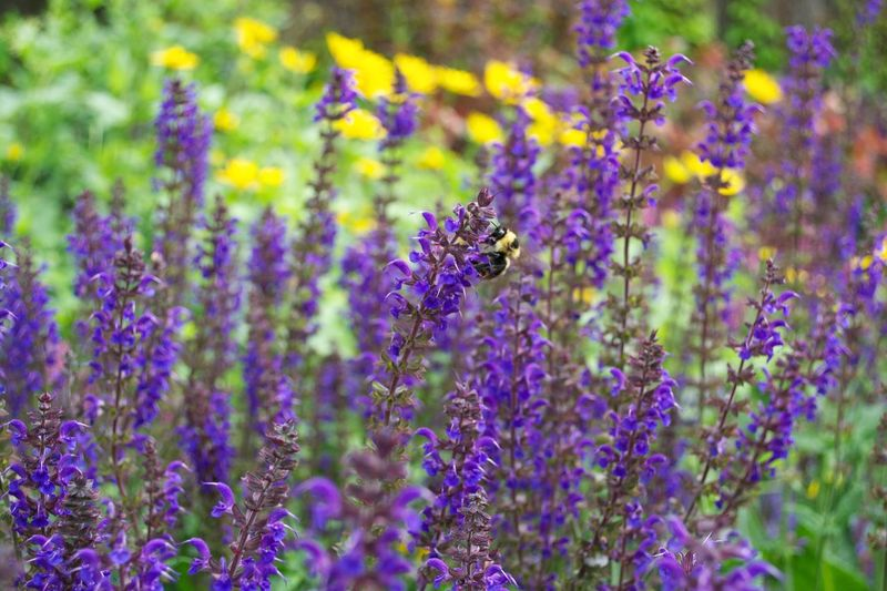 Meadow Flowers Purple Flowers Yellow Flowers Bumble Bee Collecting Pollen Bumblebee Bee Flowering Plant Flower Plant Purple Beauty In Nature Growth Freshness Fragility Vulnerability  Animal Wildlife Close-up Insect Nature Invertebrate Animals In The Wild Lavender No People Animal Animal Themes
