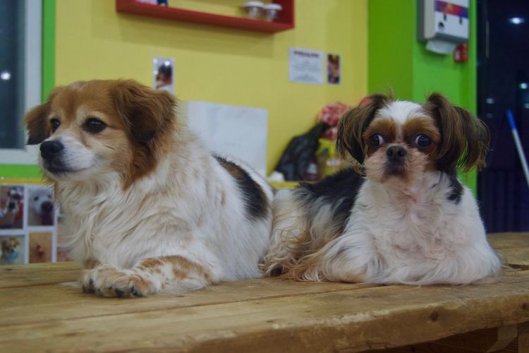 Animal Themes Day Dog Domestic Animals Home Interior Indoors  Mammal No People Pets