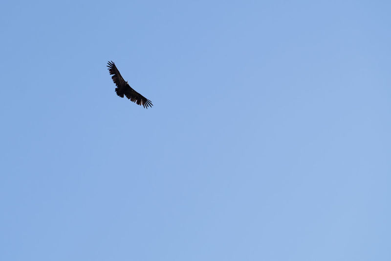Eagle soaring high against a blue sky Eagle Soar Soaring High Animal Themes Animals In The Wild Beauty In Nature Bird Bird Of Prey Blue Clear Sky Copy Space Day Flying Lone Animal Lone Bird Low Angle View Mid-air Nature No People One Animal Outdoors Sky Soaring Spread Wings Vulture