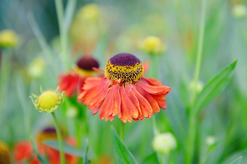 Helenium Hybride Moerheim Beauty Sneezeweed Garden Summer Garden Blooming Blossom Flower Flowering Plant Plant Fragility Growth Vulnerability  Beauty In Nature Flower Head Inflorescence Close-up Pollen No People Nature Coneflower Day Outdoors Freshness Focus On Foreground Botany Petal