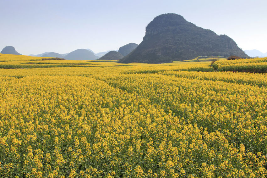 Rapeseed flowers of Luoping in Yunnan China ASIA Beauty In Nature Bees China Field Flower Freshness Growth Honey HoneyBee Landscape Luoping Minority Nature Rapeseed Rapeseed Blossom Rapeseed Field Rural Scene Scenics Tradition Tranquil Scene Tranquility Yellow Yunnan Yunnan ,China