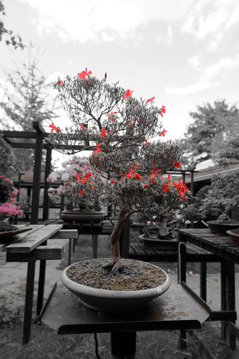 Jardin Floral de Paris - Rouge de Banzaï BANZAI Banzai Tree Beauty In Nature Black And Red Blossom Day Flower Fragility Freshness Garden Growth Jardin Jardin Floral De Paris Moth4fok Nature Noir Et Rouge Outdoors Paris Plant Printemps Rouge Et Noir Sky Spring Table Tree Live For The Story Place Of Heart The Great Outdoors - 2017 EyeEm Awards The Architect - 2017 EyeEm Awards The Photojournalist - 2017 EyeEm Awards EyeEmNewHere Sommergefühle EyeEm Selects
