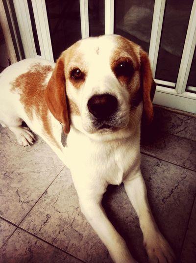 Puppy Beagle Dog Cute