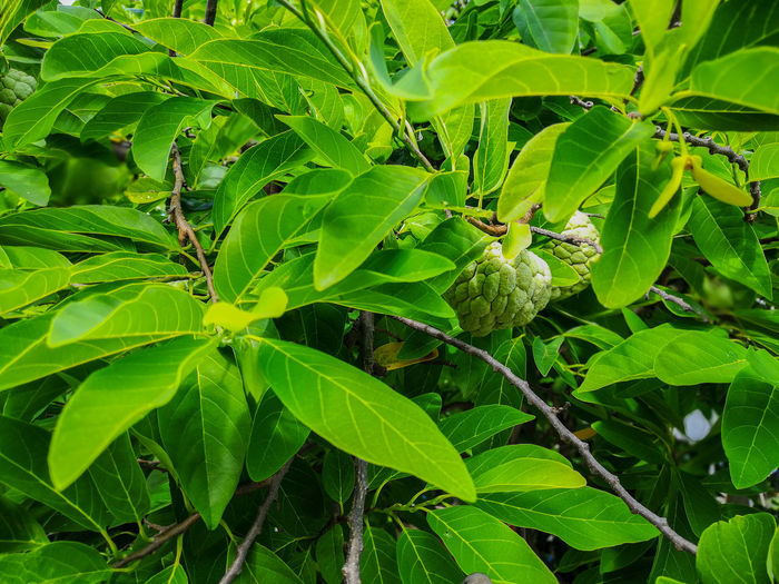 Leaf Green Color Nature Plant Growth Close-up Outdoors No People Day Freshness Beauty In Nature Fragility Animal Themes Food And Drink Fruit Tree ผลไม้ไทย Wallpapers Backgrounds กลิ่นอันหอมหวาน Healthy Eating Custard Apple