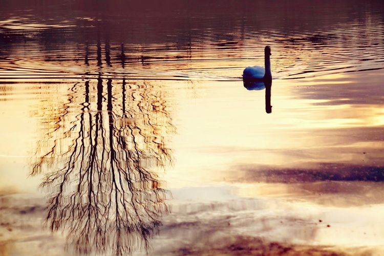 lost in a surrealistic world Beauty In Nature Nature Photography Nature_collection Cold Temperature Reinheimer Teich My Point Of View Cold Weather Sunrise Gold Colored Animal Themes Bird Water Swimming Swan Lake Reflection Sea Bird Golden