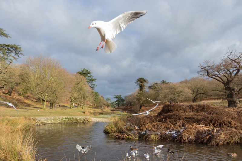 Bradgate park birds flying over river Birds In Flight Bushes Cold Temperature Countryside Uk Ducks At The Lake Outdoors Photograpghy  River Rural Scene Swans Trees Water