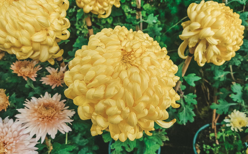 Chrysanthemum Flowering Plant Flower Plant Vulnerability  Close-up Petal Fragility Freshness Flower Head Beauty In Nature Yellow Growth Inflorescence Nature No People Focus On Foreground Day High Angle View Chrysanthemum Outdoors