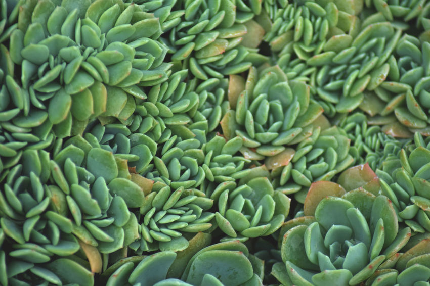 Abundance Backgrounds Beauty In Nature Close-up Day Food Food And Drink Freshness Full Frame Green Color Healthy Eating Large Group Of Objects Natural Pattern Nature No People Pattern Raw Food Succulent Plant Vegetable Wellbeing