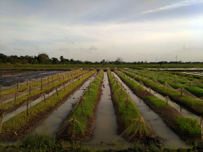 Rice dapog system Plant Plant Part Rice Seedlings Agriculture Environment Farm Field Landscape Nature Plant Plant Leaf Plant Parts Plant Research Rice Dapog System Rice Nursery Rice Planting Rice Seedling Scenics - Nature