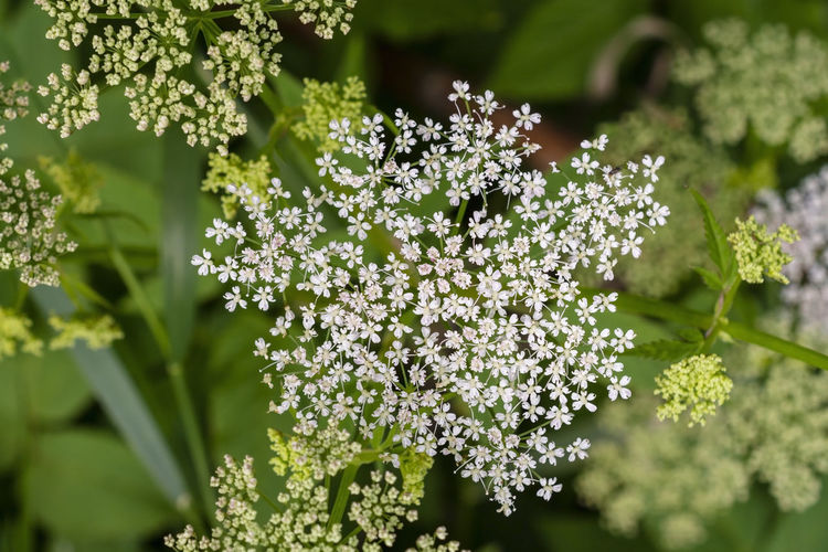 Aegopodium Podagraria Wild Flowers Lilac White Color Outdoors Petal Inflorescence Focus On Foreground Close-up No People Selective Focus Flower Head Nature Green Color Day Freshness Growth Vulnerability  Fragility Plant Flowering Plant Beauty In Nature Flower Ground Elder