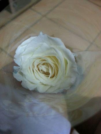 White rose for the single ladies. Thank you, Paguddy :* Flowers Singleladies Ilovemysingularity