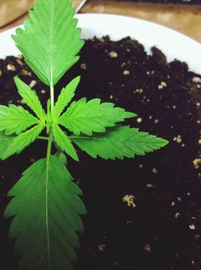 Cannabis] Cannabis