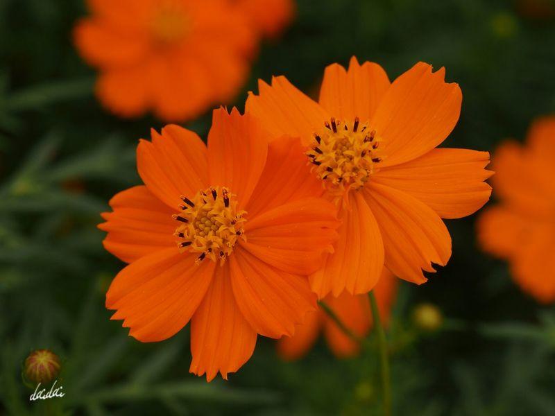 う、羨ましくなんか・・・いや、やっぱり羨ましい。 E-PL3 Flower Cosmos キバナコスモス Noedit