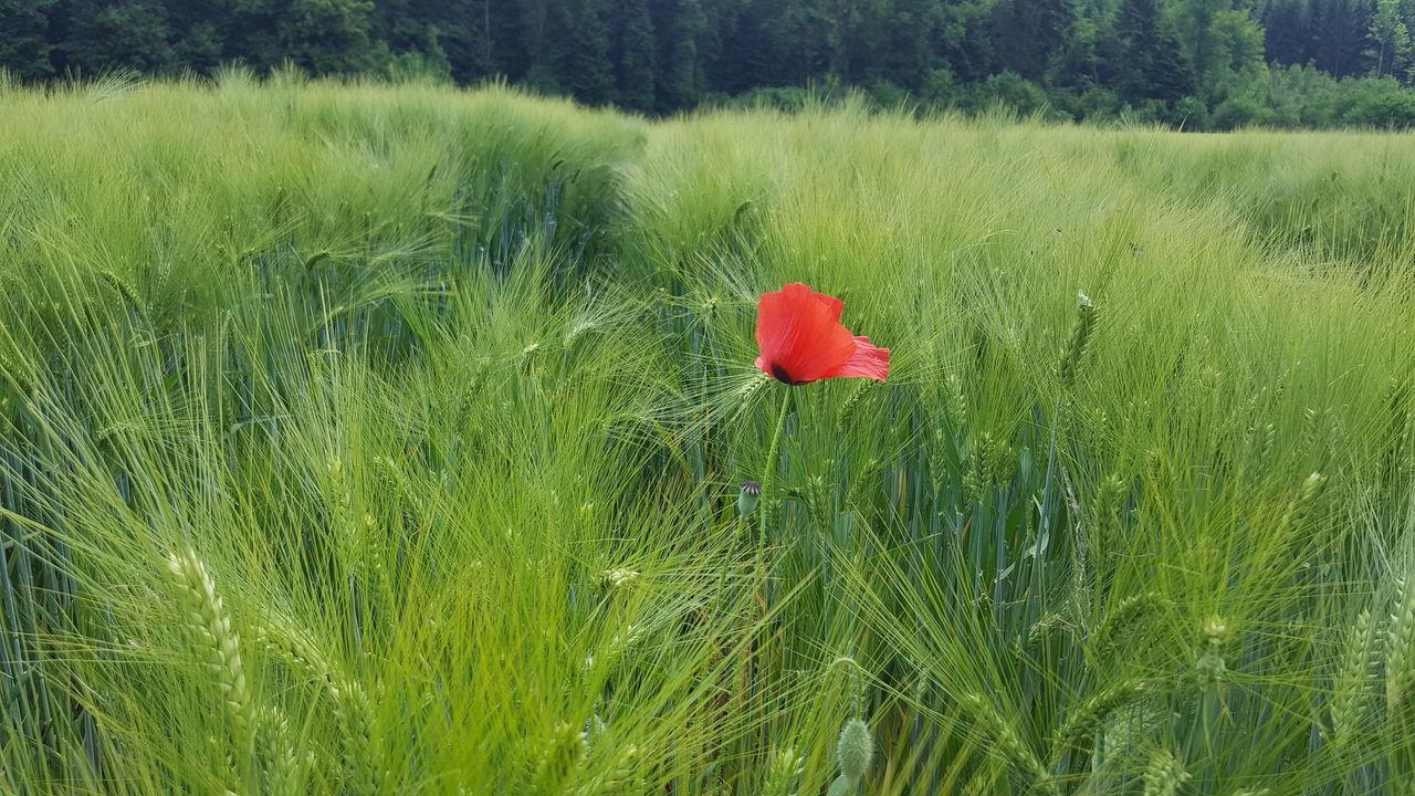 Red Poppy Blooming In Field