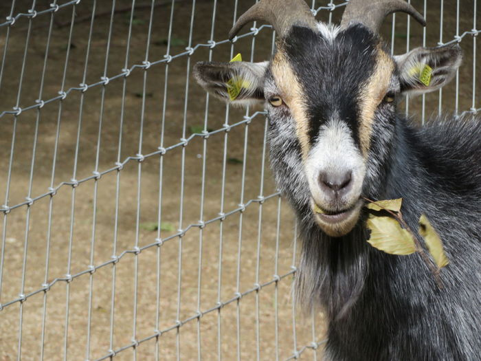 Goat EyeEm Selects Portrait Confined Space Cage Looking At Camera Animals In Captivity Chainlink Fence Close-up