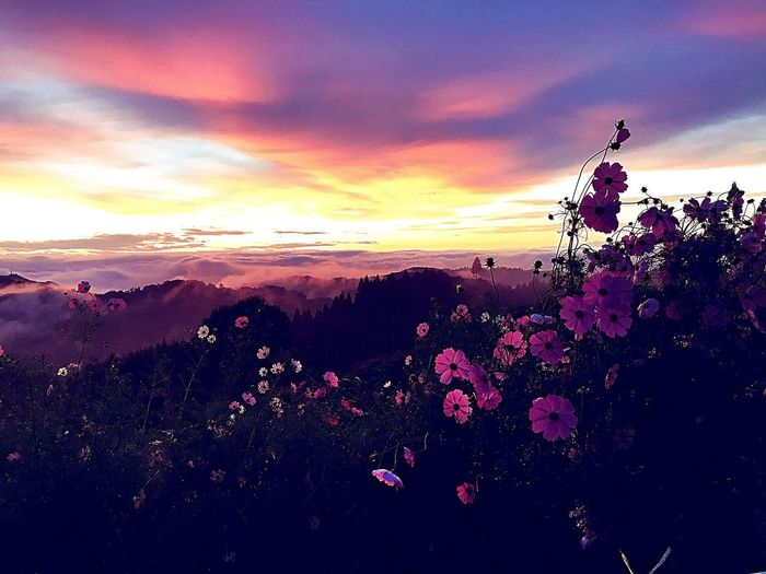 Beauty In Nature Flower Sunset Nature Growth Sky Cloud - Sky Scenics Plant Tranquility Tranquil Scene Outdoors Silhouette No People Fragility Tree Blossom Freshness Flower Head Blooming