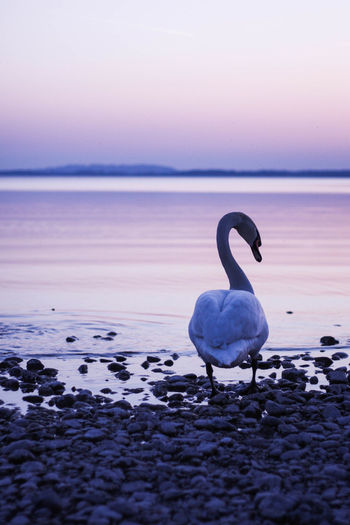 View of swan on beach