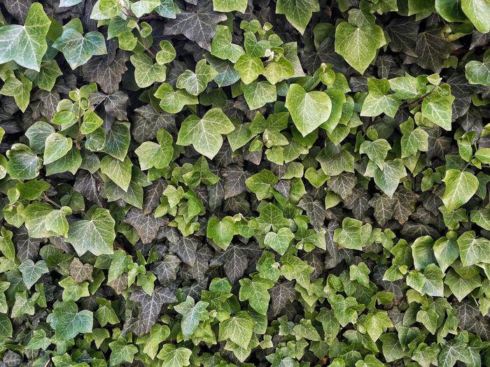 Full frame shot of ivy leaves