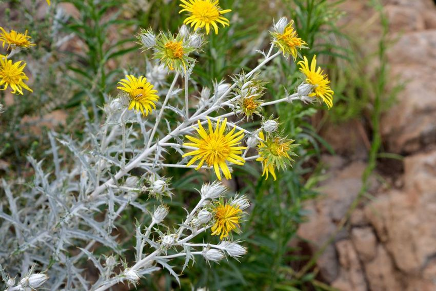 Harties Hartebeespoort Flower Nature Fragility Petal Flower Head Growth Plant Beauty In Nature Outdoors No People Uncultivated Freshness Day Blooming Close-up Yellow Hartbeespoort Dam Wall South Africa Travel Destinations Hartbeespoort Dam Grass Horizon Over Water