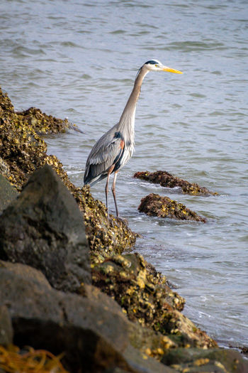High angle view of gray heron perching on rock by lake