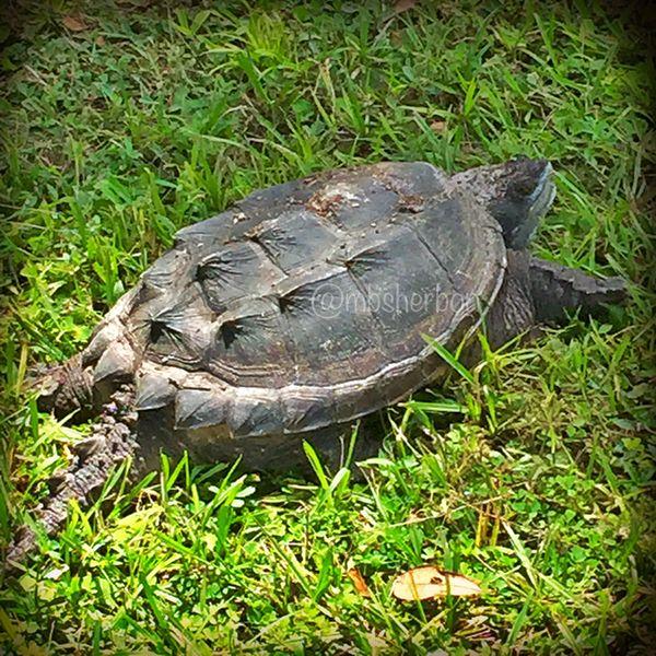 Florida Snapping Turtle Wildlife Nature Turtle
