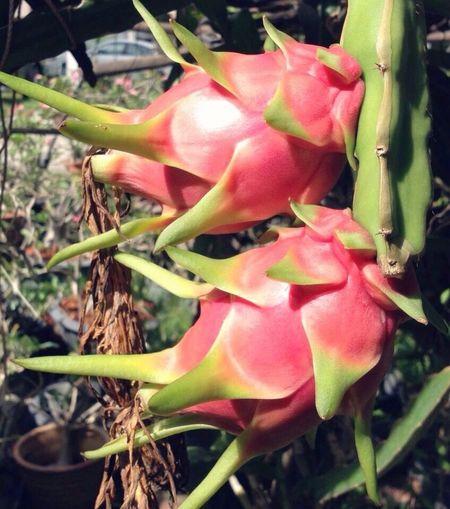 Dragonfruit Dragonfruitplant
